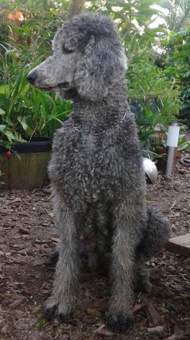 Standard Poodle - Grey